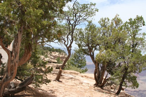 I loved the trees along the rim, some were perfect, others were gnarly looking. They all looked great with the Grand Canyon as the back drop.