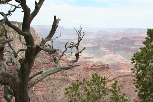 One of the many gnarly trees on the Rim Trail.